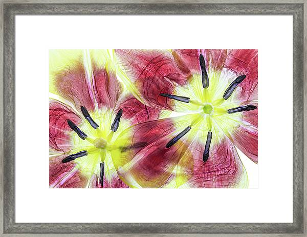 Tulips Framed Print by Mandy Disher