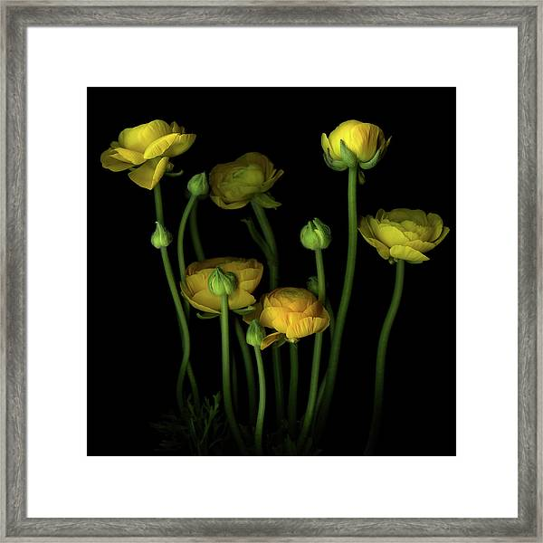 Yellow Ranunculus Framed Print by Photograph By Magda Indigo