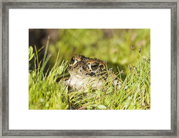 Yosemite Toad Framed Print
