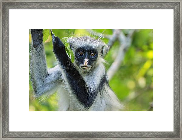 Zanzibar Red Colobus In Tree Jozani Framed Print