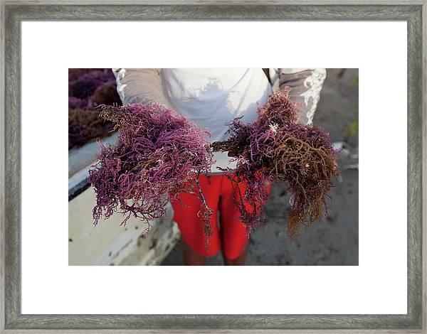 2015 Agar Seaweed Algae Coastal Farming Framed Print by Paul D Stewart