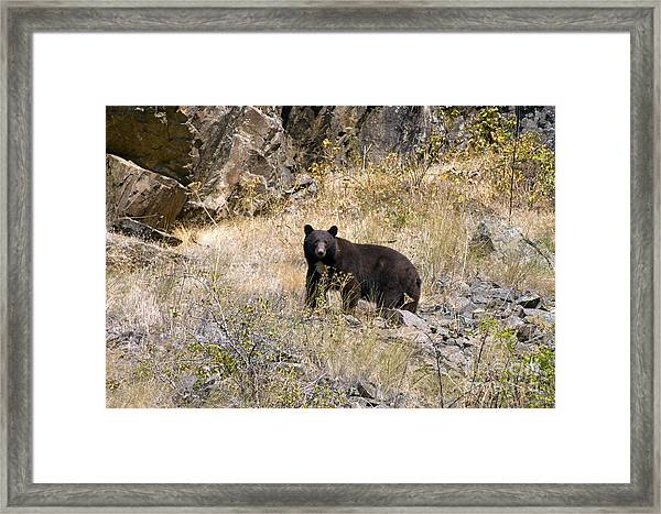 231p Black Bear Framed Print