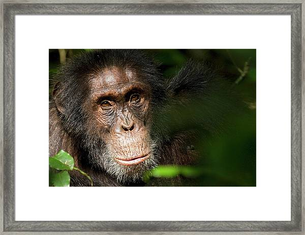 Africa, Uganda, Kibale National Park Framed Print by Kristin Mosher