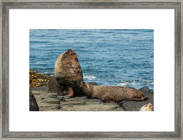 Falkland Islands, Bleaker Island Framed Print by Jaynes Gallery