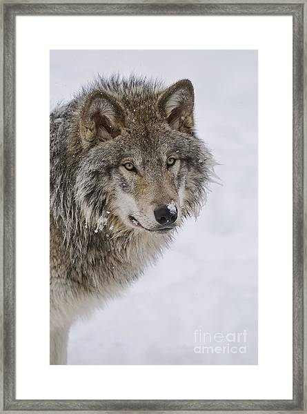Timber Wolf Pictures Framed Print