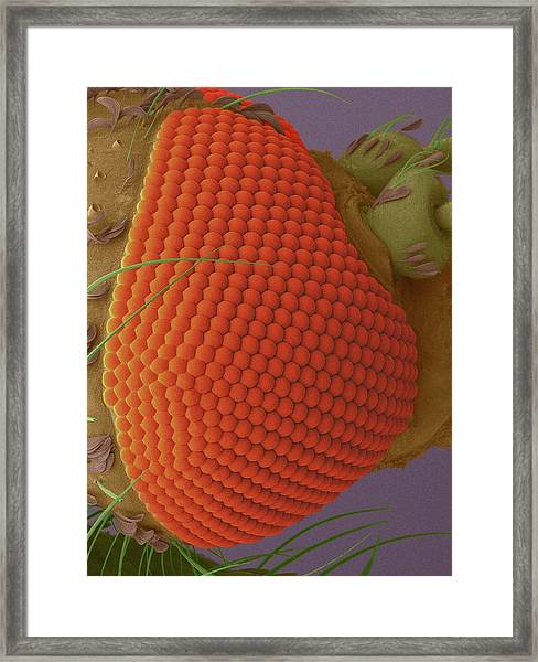 Aquatic Plant Mosquito Framed Print by Dennis Kunkel Microscopy/science Photo Library
