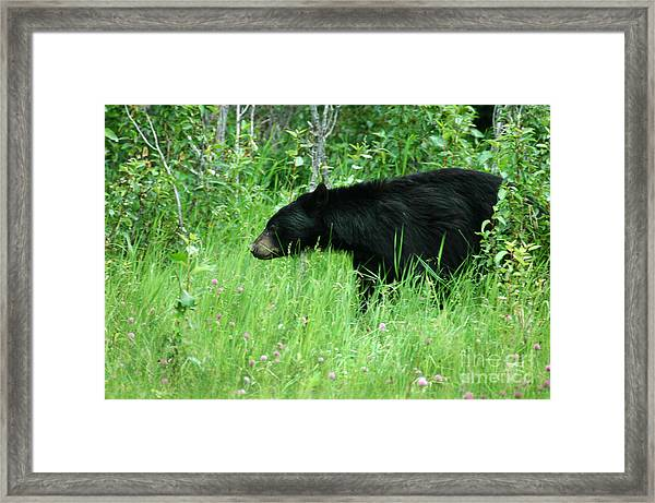 551p Black Bear Framed Print