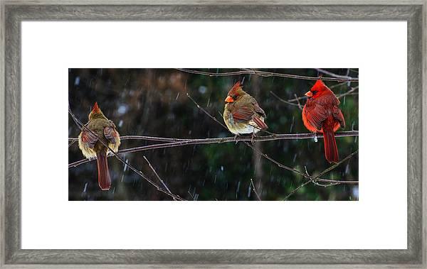 3 Cardinals On A Branch  Framed Print