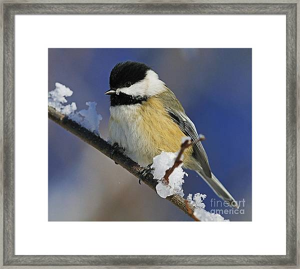 Winter Chickadee... Framed Print