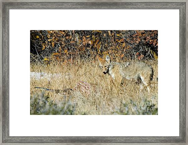 Coyotes Framed Print
