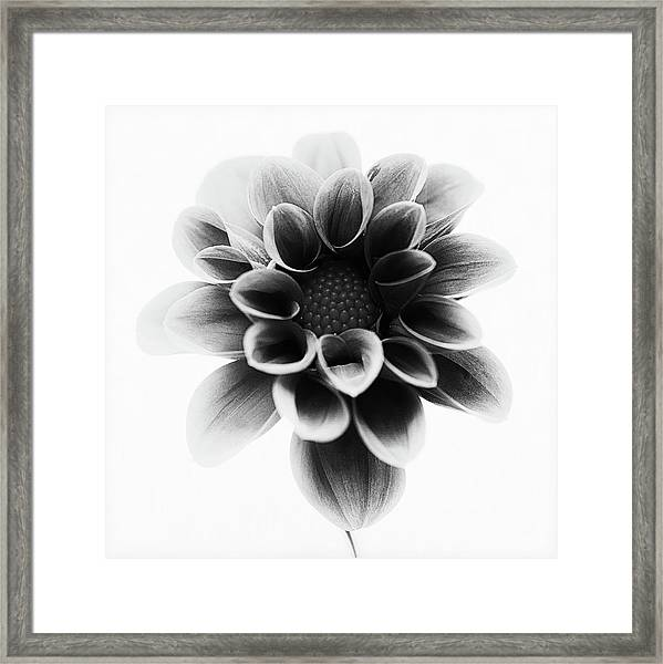 Dahlia Framed Print by Lotte Gr??nkj??r