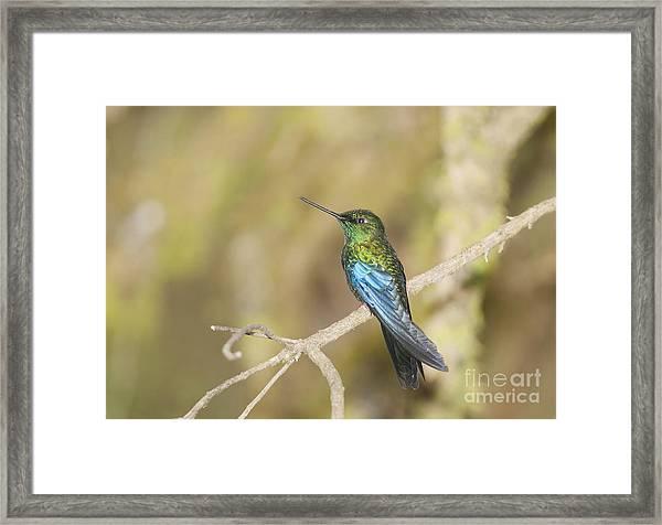 Great Sapphirewing Hummingbird Framed Print
