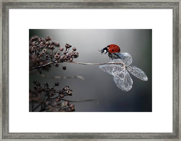 Ladybird On Hydrangea. Framed Print by Ellen Van Deelen