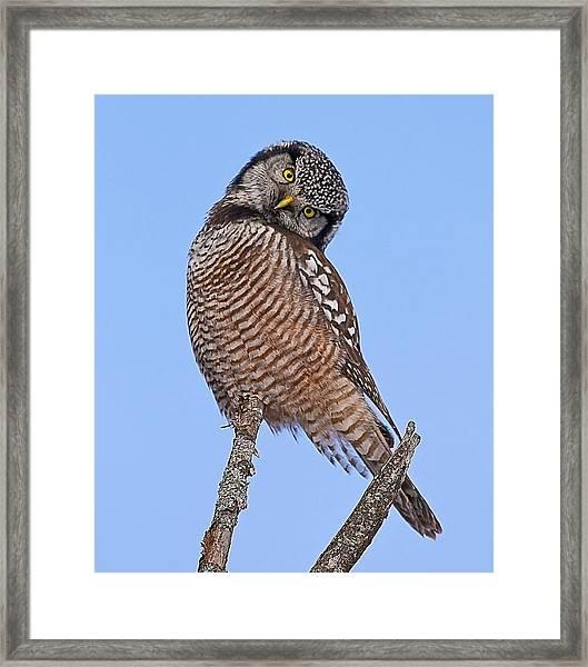 Northern Hawk Owl Framed Print