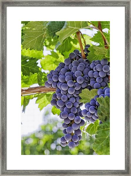 Red Wine Grapes Framed Print