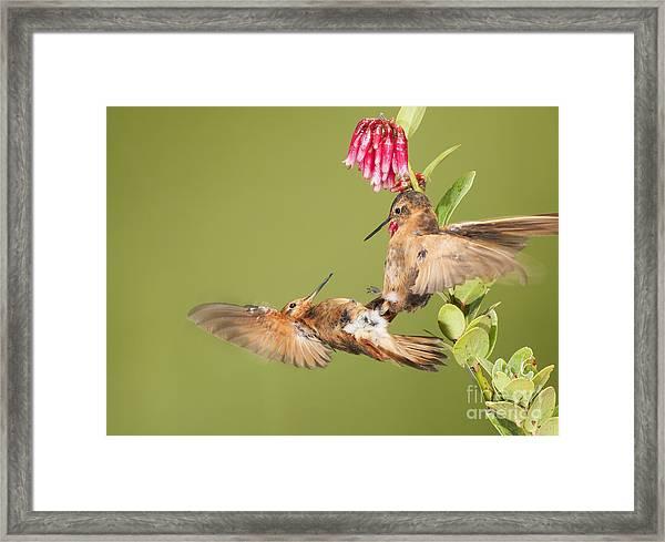 Shining Sunbeam Hummingbirds Framed Print