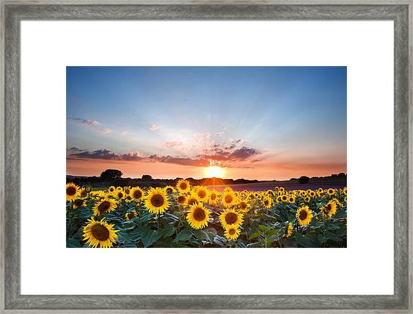 Sunflower Summer Sunset Landscape With Blue Skies Framed Print