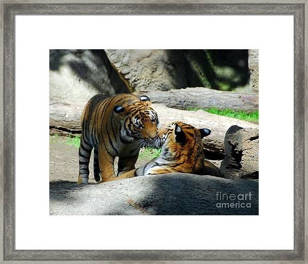 Framed Print featuring the photograph Tiger Love 2 by Mel Steinhauer