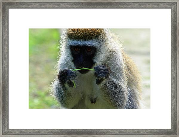 Vervet Monkey Framed Print