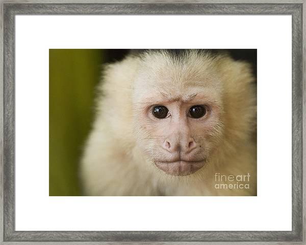 White-faced Capuchin Framed Print