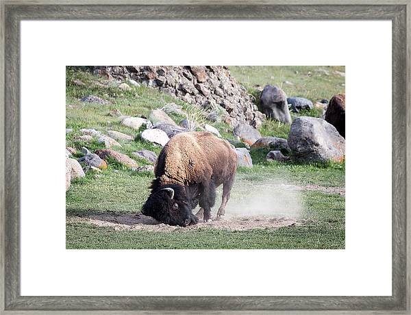 Yellowstone Bison Framed Print