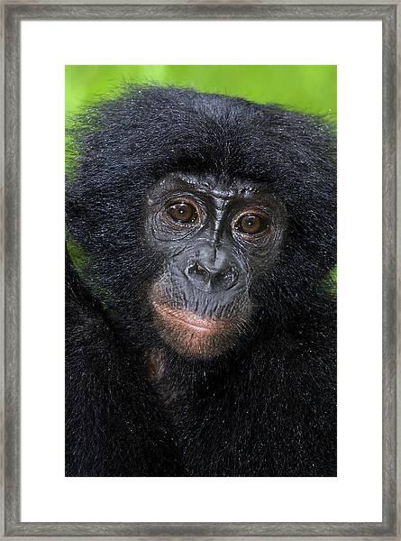 Bonobo Ape Framed Print