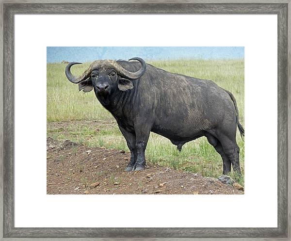 Cape Buffalo Framed Print