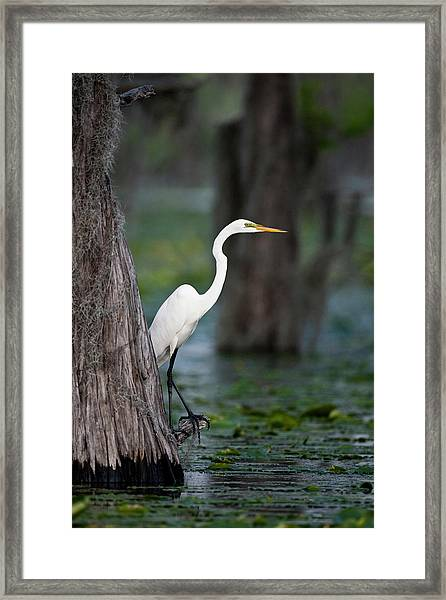 Great Egret (ardea Alba Framed Print