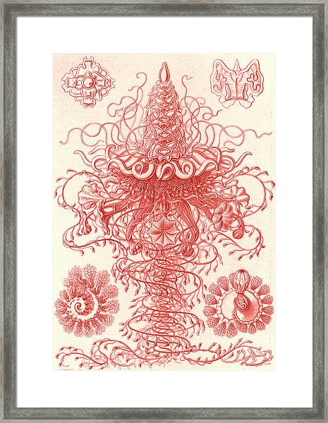 Illustration Shows Marine Invertebrates. Siphonophorae Framed Print by Artokoloro