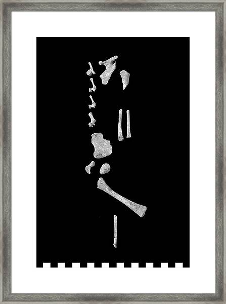 Infant Bones From Roman Britain Framed Print by Natural History Museum, London/science Photo Library
