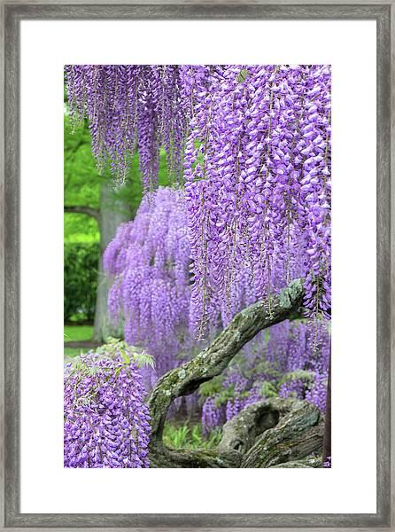Japanese Wisteria, Longwood Gardens Framed Print