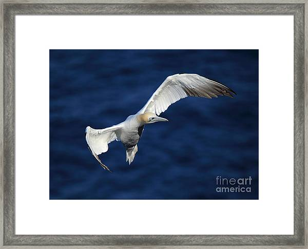 Northern Gannet In Flight Framed Print