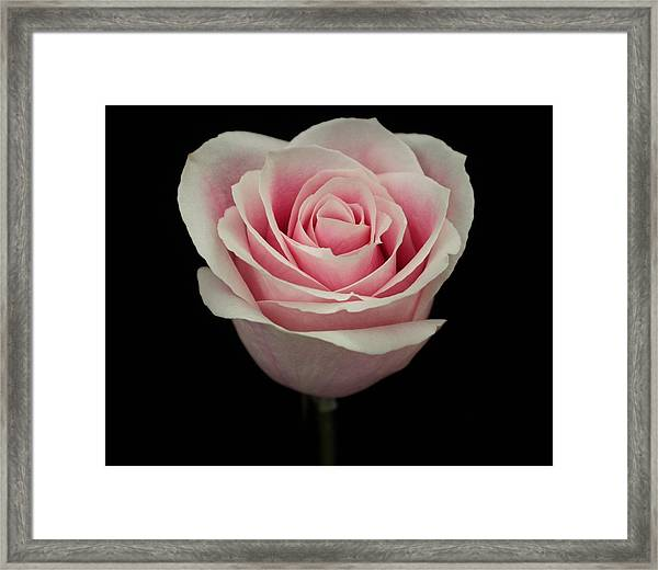 Pink Rose Framed Print by Carol Welsh
