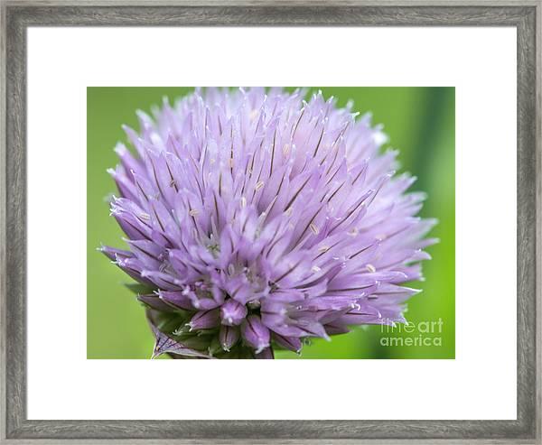 Purple Chive Flower Framed Print