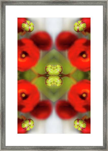 Red Ranunculus Framed Print by Silvia Otte