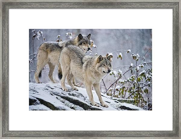 Timber Wolves Framed Print