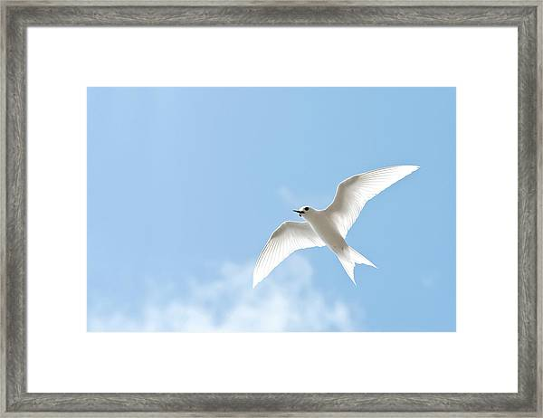 White Tern (gygis Alba Rothschildi Framed Print by Daisy Gilardini