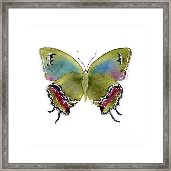 46 Evenus Teresina Butterfly Framed Print