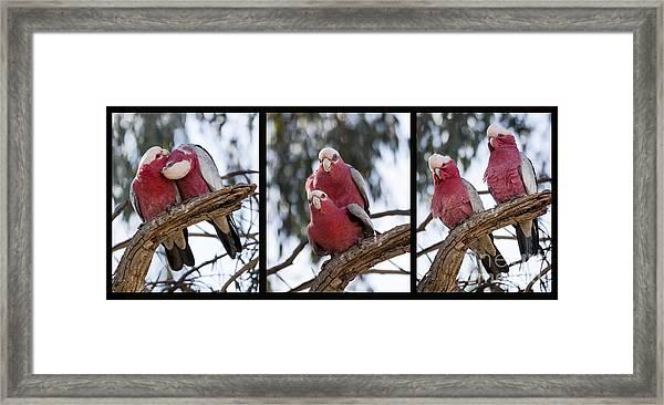 Galahs Framed Print
