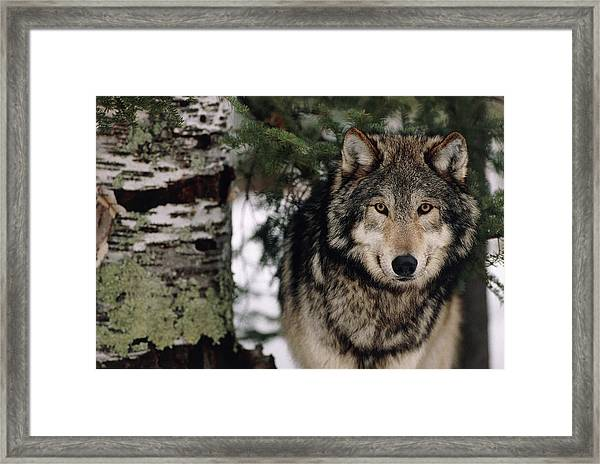 Grey Wolf Framed Print by William Ervin/science Photo Library