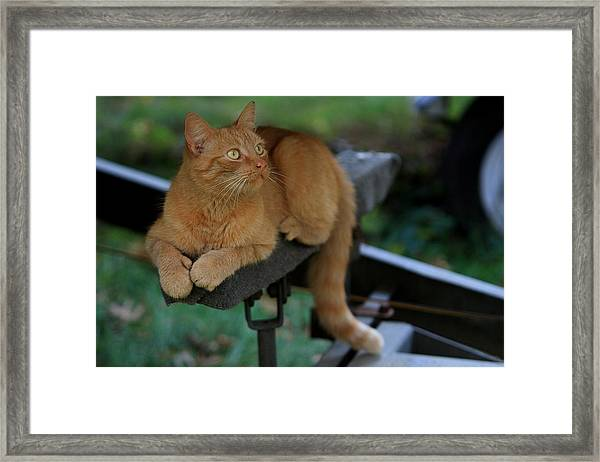 5-toe'd Orange Cat Of The Marina Framed Print