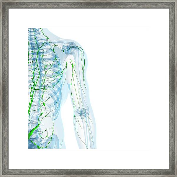 Lymphatic System Framed Print by Sciepro/science Photo Library