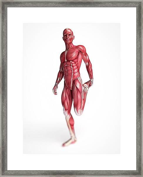 Human Muscular System Framed Print by Sebastian Kaulitzki
