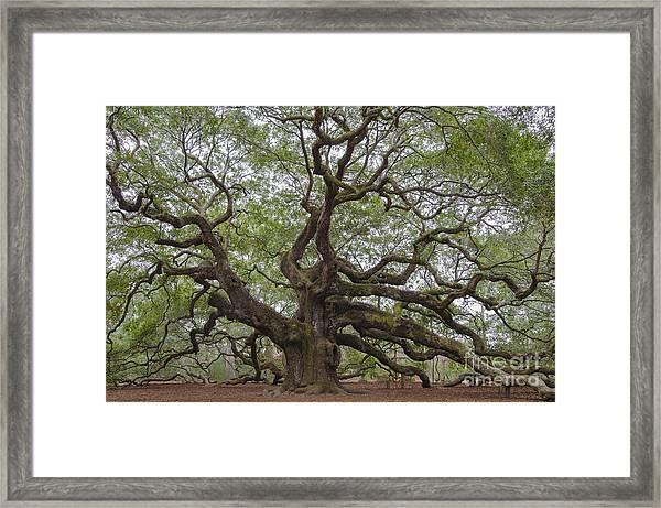 Sc Angel Oak Tree Framed Print