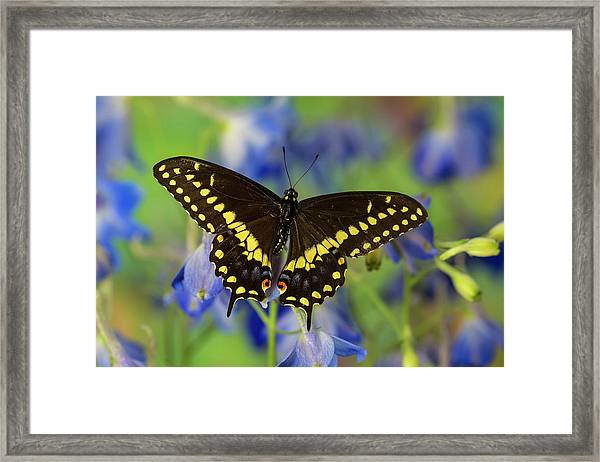 Black Swallowtail Butterfly, Papilio Framed Print by Darrell Gulin
