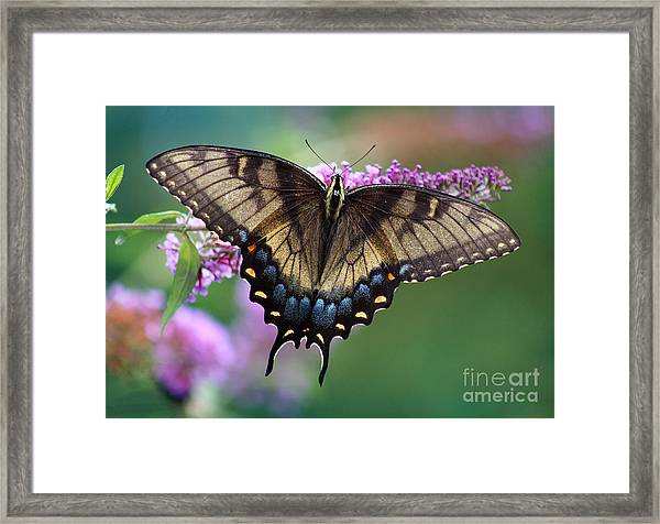 Eastern Tiger Swallowtail Butterfly On Butterfly Bush Framed Print