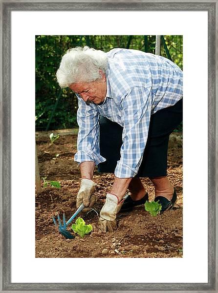 Elderly Lady Gardening Framed Print by Mauro Fermariello/science Photo Library