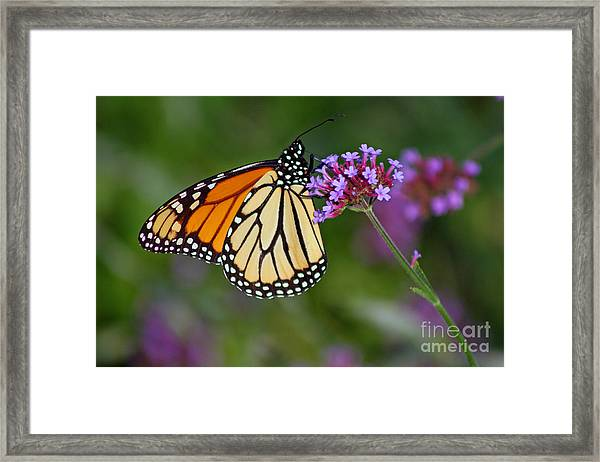 Monarch Butterfly In Garden Framed Print