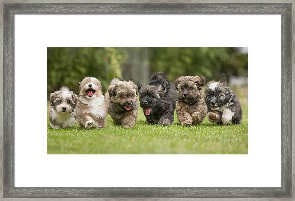 6 Running Havanese Puppies Of 9 Weeks! by @Hans Surfer