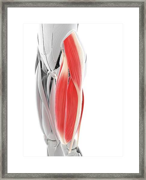 Thigh Muscles Framed Print by Sciepro/science Photo Library